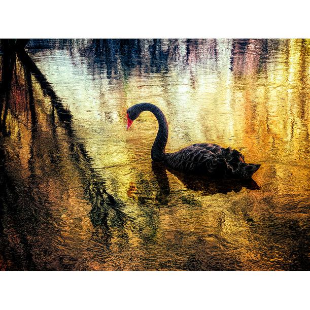 Black Swan by Nick Psomiadis