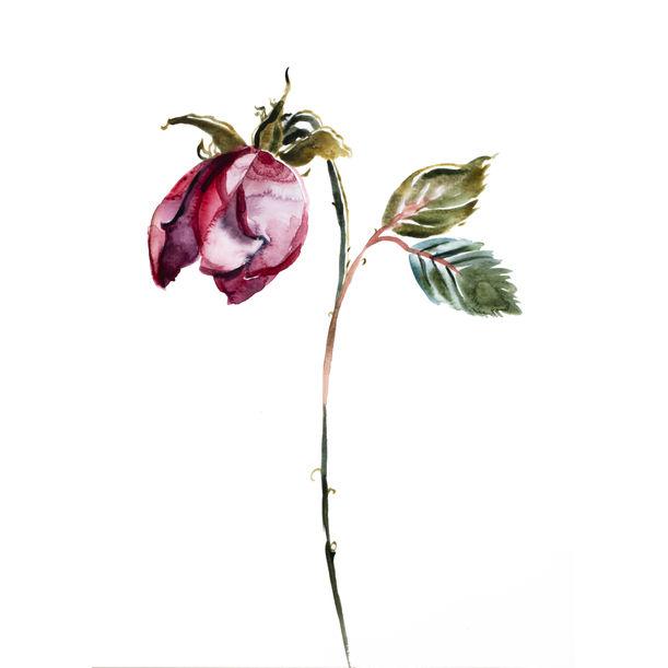 Rose Study No. 50 by Elizabeth Becker
