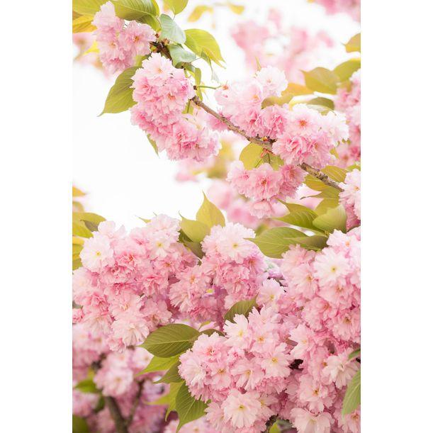 Paris Cherry Blossoms by Christie Moore