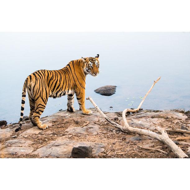 Bengal tigress at edge of lake, Ranthambhore National Park, Rajasthan, India by James Warwick