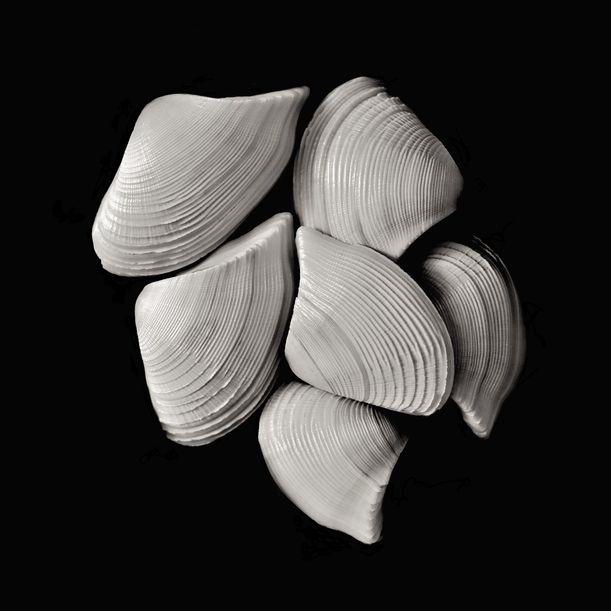 Seashells No. XXII by Shafiq M