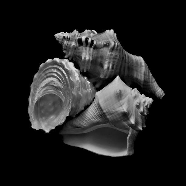 Seashells No. XIII by Shafiq M