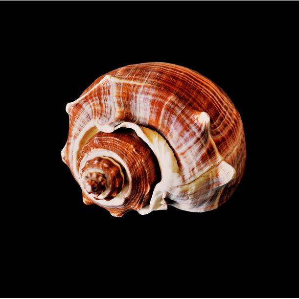 Seashells No. XII by Shafiq M
