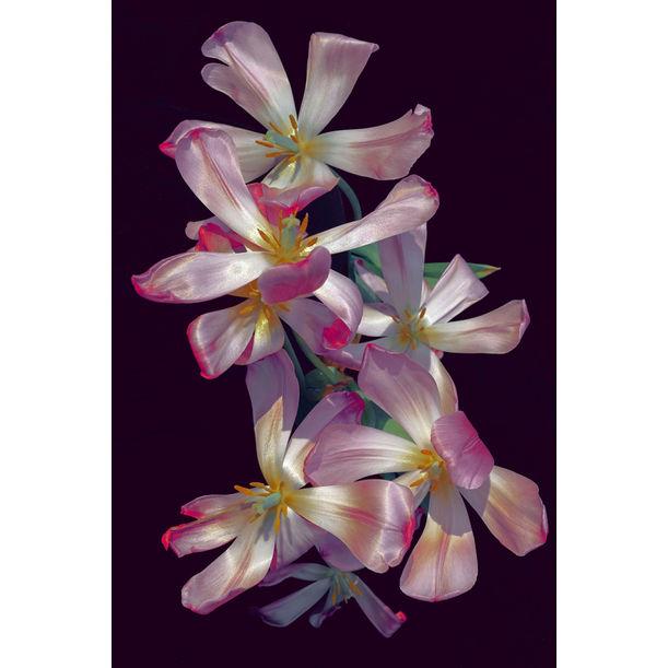 Tulips by Xuebing Du