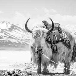 Portrait of a Yak by Shirren Lim