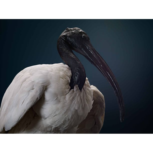 Sacred Ibis (SI_04-25) by Michael Frank