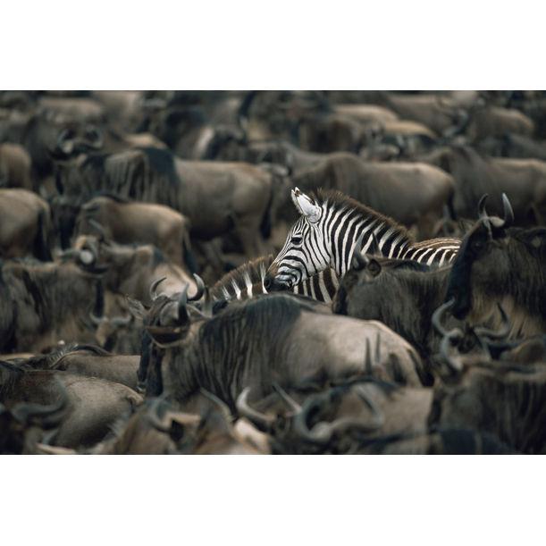 Common zebras amongst wildebeest herd, Masai Mara National Reserve, Kenya by James Warwick