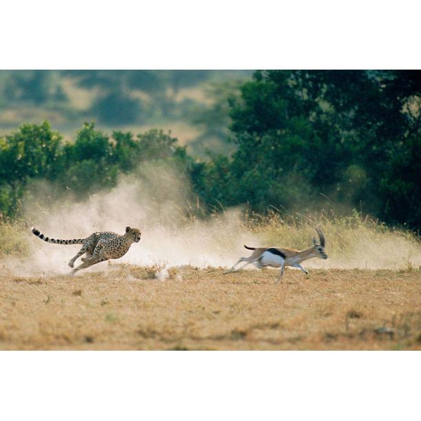 Cheetah hunting Thomson's gazelle, Masai Mara National Reserve, Kenya by James Warwick