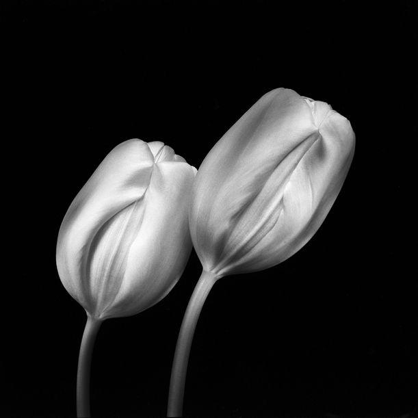 Tulips by Ksenija Spanec