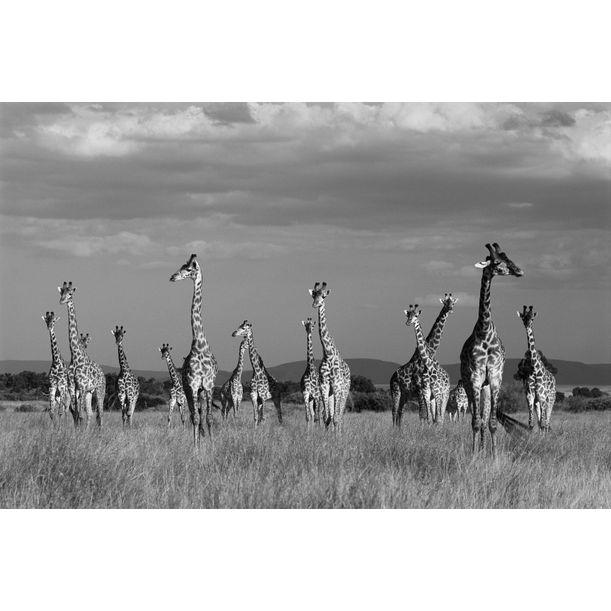 Maasai giraffes in storm light, Masai Mara National Reserve, Kenya by James Warwick