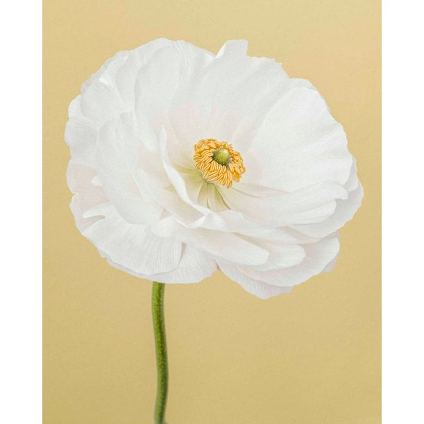 White Ranunculus I by Paul Coghlin