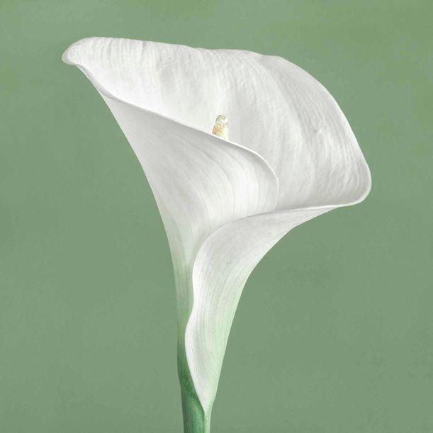 Calla Lily III by Paul Coghlin