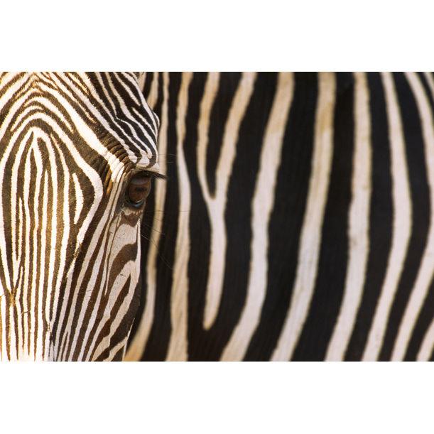 Grevy's zebra portrait, Samburu National Reserve, Kenya by James Warwick