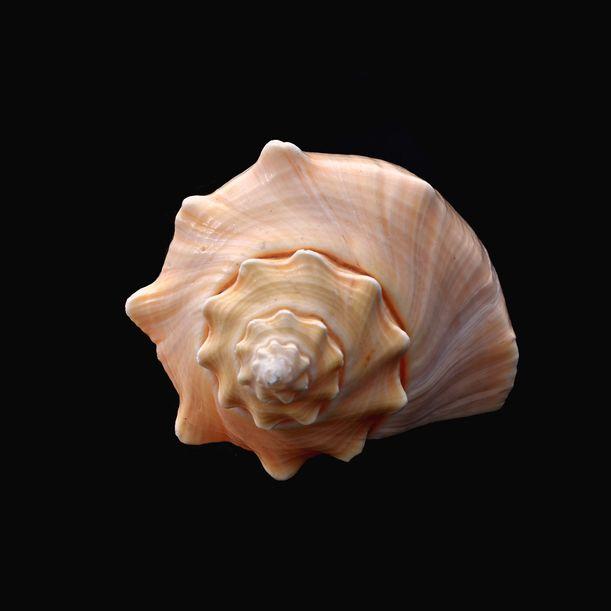 Seashells No. X by Shafiq M