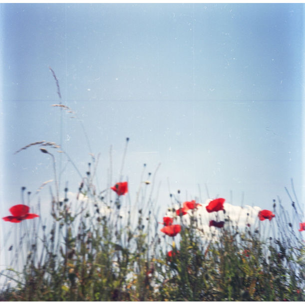 Poppies III. by Ági Vedres