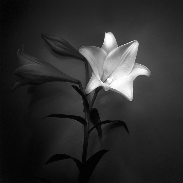 Lily by Ksenija Spanec