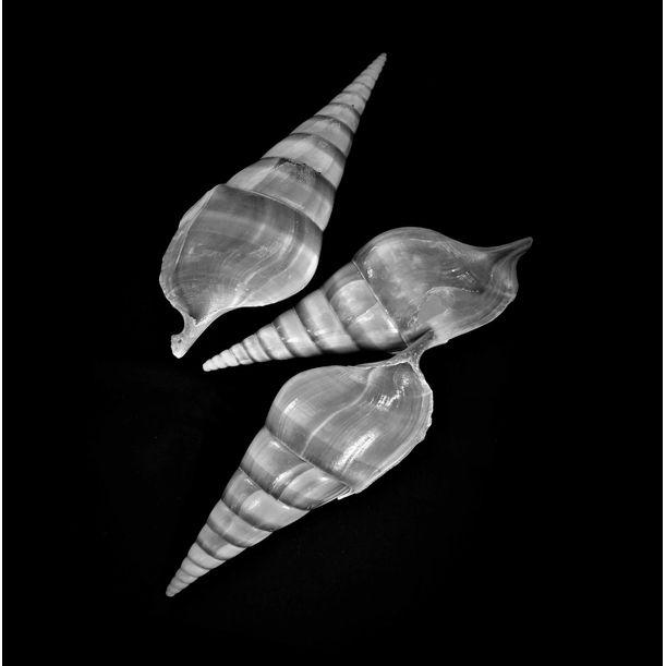 Seashells No. VII by Shafiq M