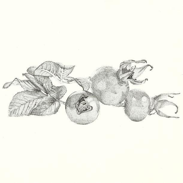 Dog rose by Victoria Demidova