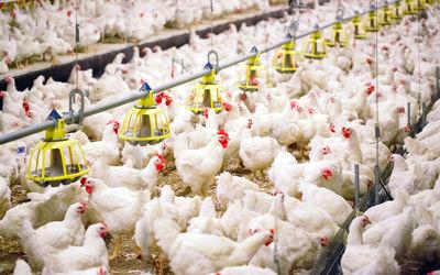Ilustrasi peternakan ayam. Sumber: ayamkita.com\n