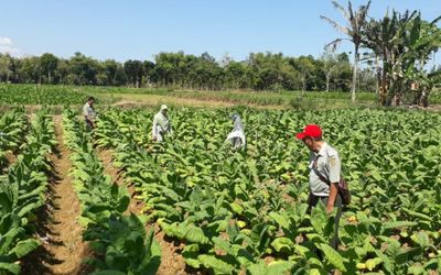 Ilustrasi perkebunan tembakau / Foto: Balittas.litbang.pertanian.go.id\n