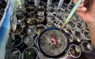 Penjual menyortir hasil budidaya rumahan ikan cupang hias untuk dijual di Perumahan Pondok Arum, Kar...