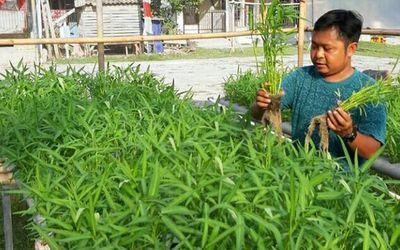 Produk sayuran kangkung organik yang dibudidayakan lewat sistem akuaponik oleh Griya Muda Tani (GMT)...