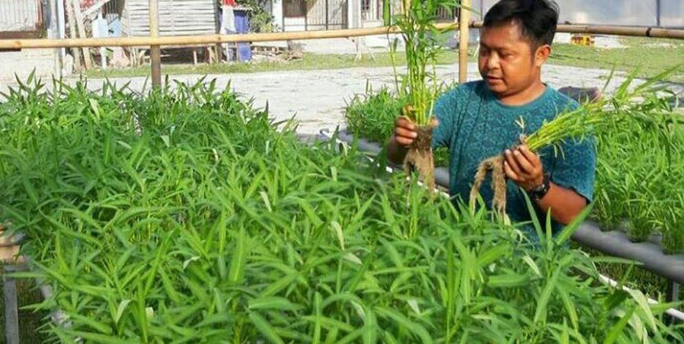 Produk sayuran kangkung organik yang dibudidayakan lewat sistem akuaponik oleh Griya Muda Tani (GMT) / Dok. GMT\n