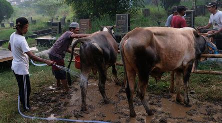 Pekerja memandikan sapi yang akan dijual di lapak hewan kurban di lahan Pemakaman Tionghoa, Tanah Ku...