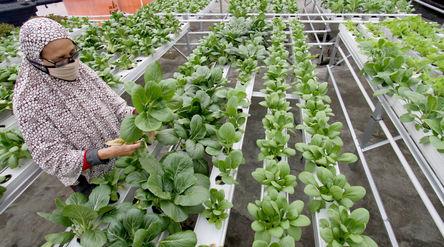 Sutriani Kamal mengecek tanaman hidroponik di kebunnya yang berada di atas atap rumahnya kawasan Sud...