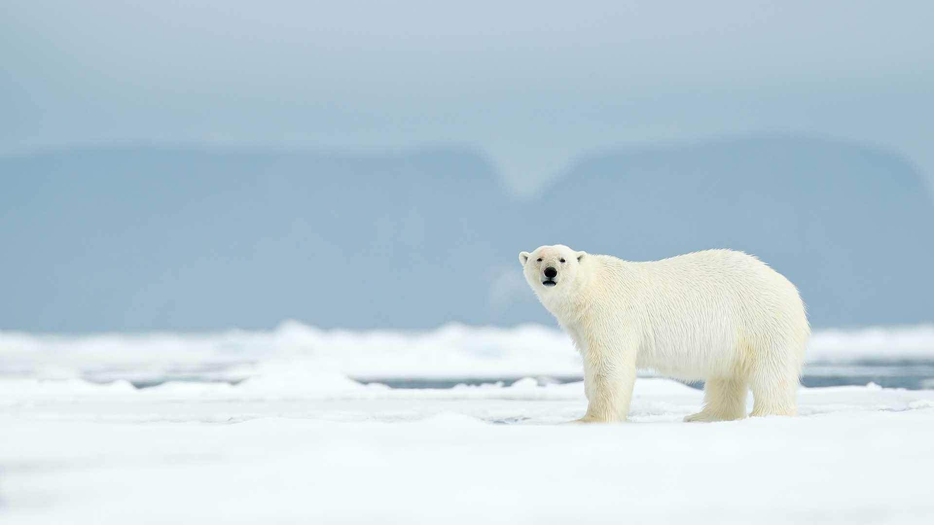 Ilmuwan Memprediksi Beruang Kutub Bisa Lenyap pada Akhir Abad Ini