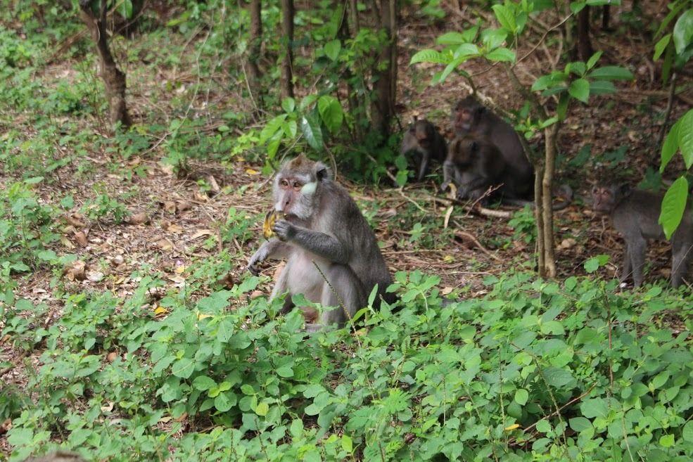 Bali Sepi Bule Karena Pandemi, Ratusan Monyet Jarah Rumah Warga