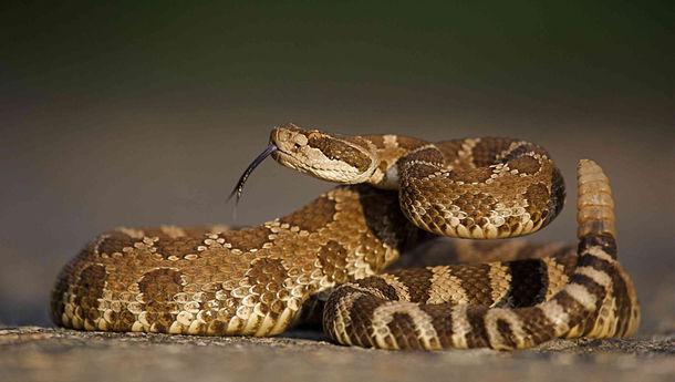 orang-california-ini-tidak-sadar-ada-lebih-dari-90-ular-derik-tinggal-di-rumahnya