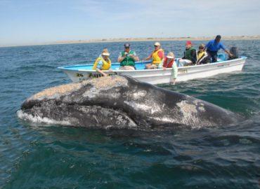 Περιηγήσεις και κρουαζιέρες φαλαινών Baja California Grey and Blue Whales