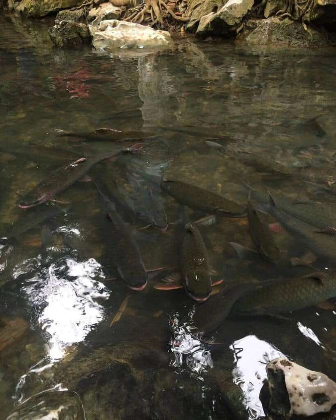 Vào mùa nước cạn bạn thậm chí có thể đưa tay để vuốt ve những chú cá này