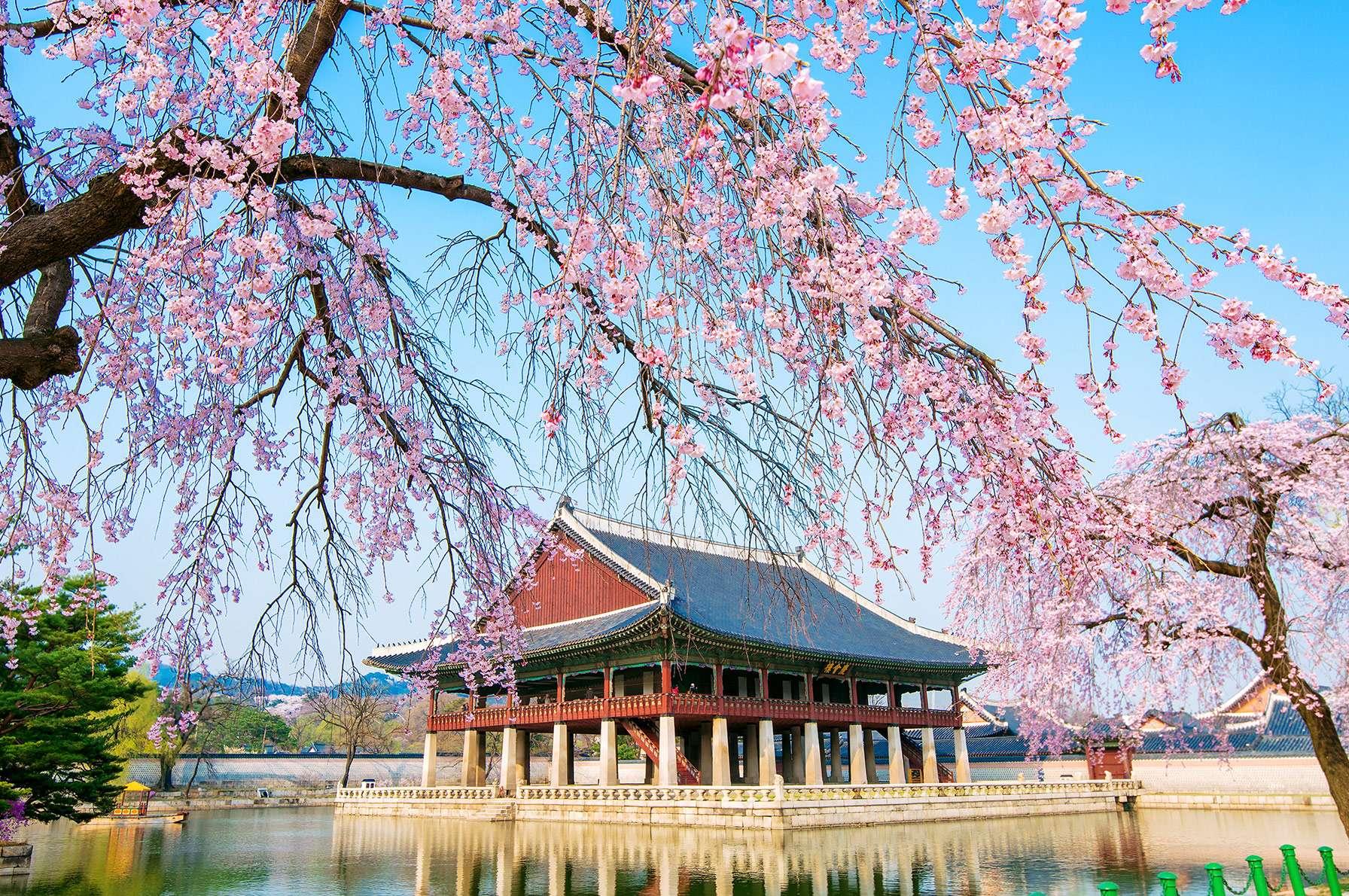 South Korea S Cherry Blossoms Season Forecast 2020