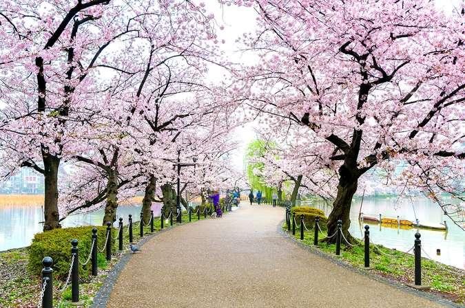 Jadwal Mekar Bunga Sakura Di Jepang Tahun 2020