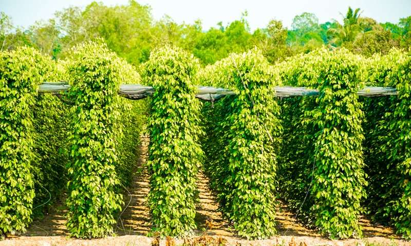 phu quoc package - Peppercorn farms