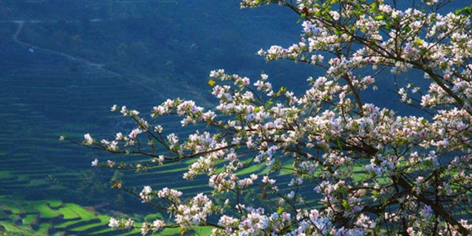 Hoa ban trắng Điện Biên