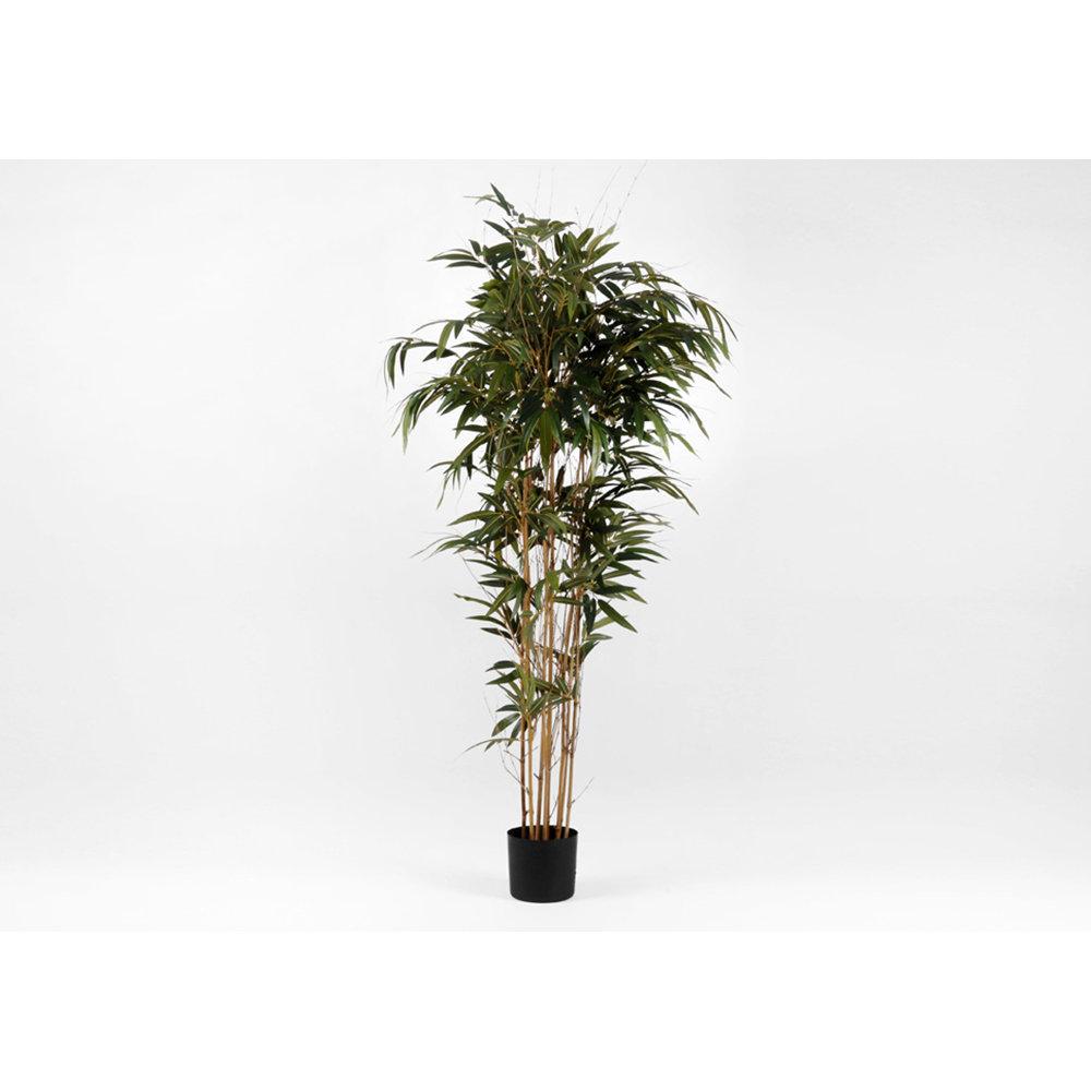 Vendita Piante Bambu Milano.Pianta Ornamentale Bambu H218 Korb Acquista Su Ventis