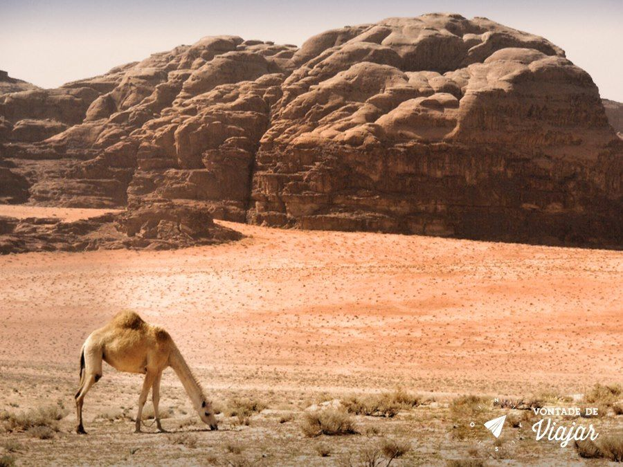 Jordania - Dromedario no deserto de Wadi Rum