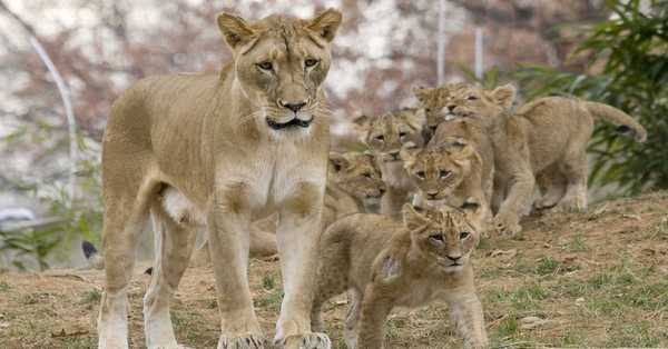 Four lions test positive for COVID-19 in Spanish zoo