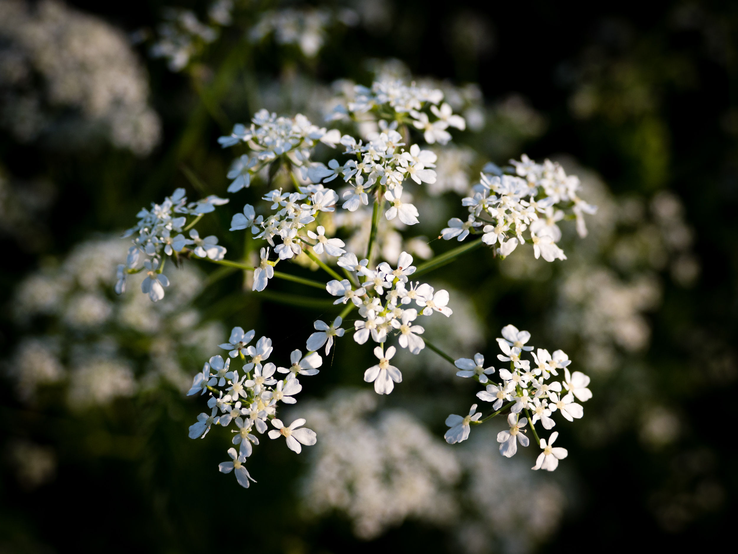 Daniel Burge Wild Communion plant medicine. Photo of Cow Parsley