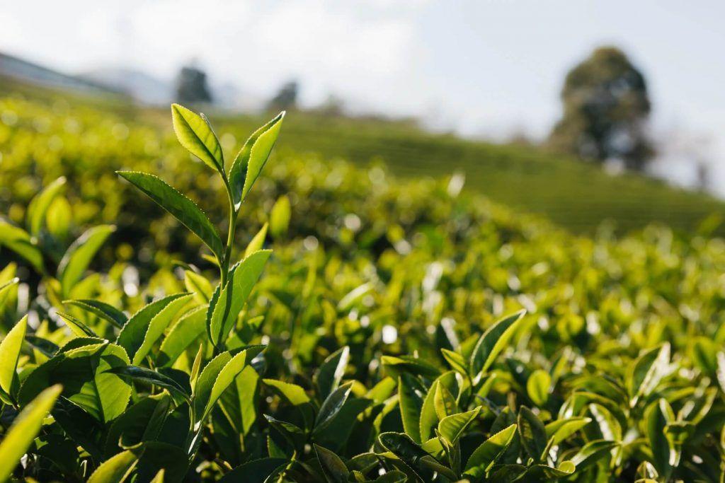 Camellia sinensis shrubs