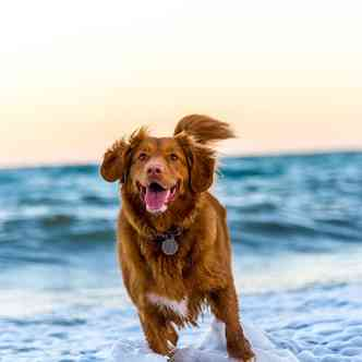 Dog running through the surf