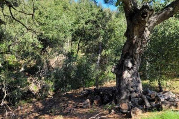 16115 Oak Tree