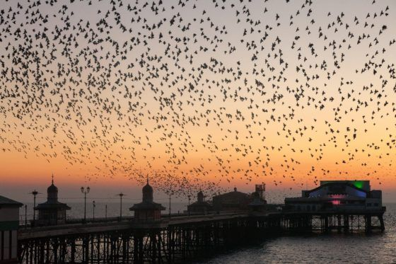 Blackpool North Pier Starlings Photography Print