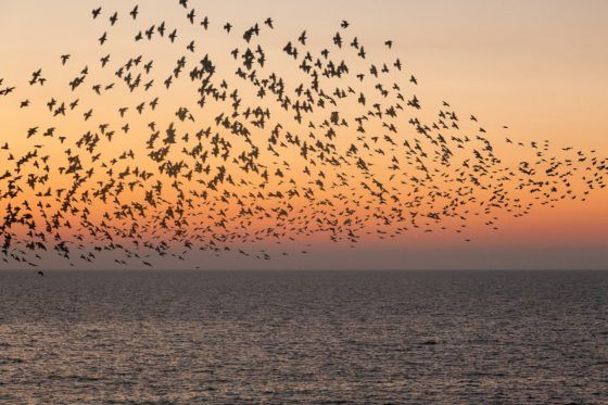 Sunset Starlings Photography Print