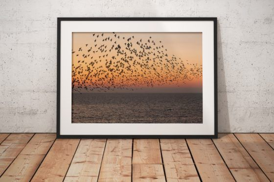 Sunset Starlings Photography Print In Black Frame