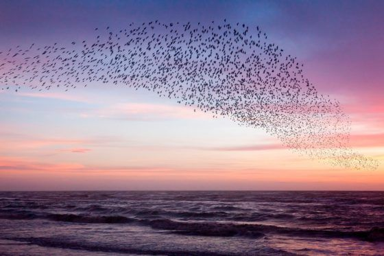 Murmuration of Starlings Purple Sky Photography Print