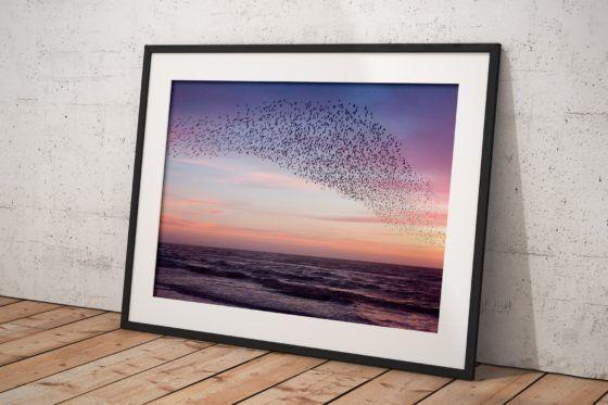 Murmuration of Starlings Purple Sky Photography Print In Black Frame